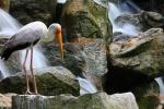 Afrikaanse nimmerzat in Vogelpark, Kuala Lumpur, Maleisië