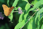 Vlinder, Zhangjiajie National Park