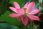 Lotus bloem in Beihai-Park, Beijing, China