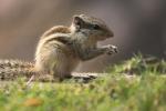 Eekhoorn, India