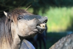 Konikpaarden in de Stille Kern, Zeewolde