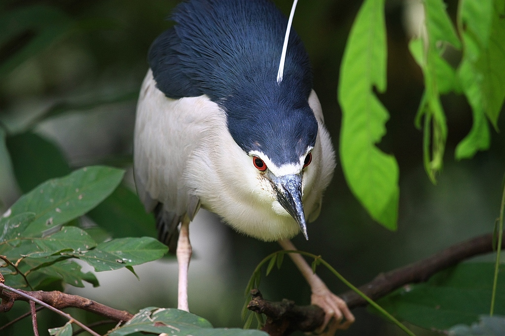 Mangrovereiger, Vogelpark, Kuala Lumpur, Maleisië