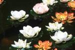 Waterlelies, Maleisië